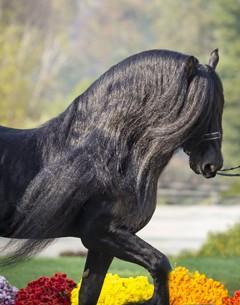 Teade 392 - 1998 KFPS Friesian Stallion