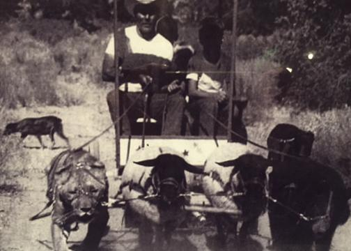 Had to include this photo from the Van den Heuvel carriage museum. It is from South Africa from the 60's or 70's of someone driving a four-abreast of a lion, two sheep and a bear. It is real and not photo shopped.