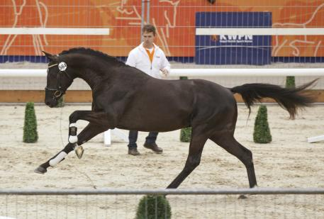 Looking fabulous: Hug Boss (Negro x Welt hit II) was one of a select few chosen for KWPN stallion testing in the Netherlands. (Photo: Dirk Camerons)