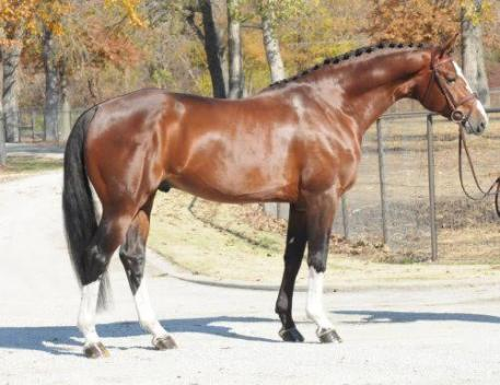 Banderas - 2006 16.2 h Bay Oldenburg Stallion (Balou du Rouet x Grannus x Beach Boy)