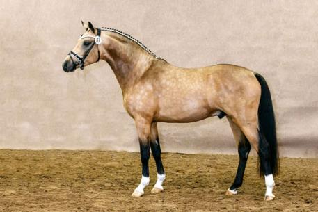 Cocktailzauber, Buckskin German Riding Pony Stallion, Top Carlos Cassini, RPSI, Stallion Service Auction, 2016