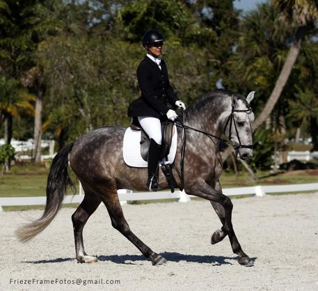 Forcado da Carvalha is a 5-year-old stallion bred in Portugal by Quinta da Carvalha and imported in 2013 (Qualificado – Infanta, Cravo). He was the IALHA National Champion of Lusitanos Three and Under, has shown to First Level and is schooling Second and Third Level movements. Photo by Shaana Risley.