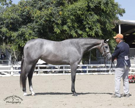 Incandescence, 2018 West Coast Best Young Horse Champion (Captured Moment Photography)