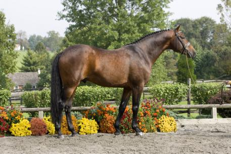 Sir Sinclair, Keur, is the USEF #1 ranked sire of Dressage horses for the third year in a row.