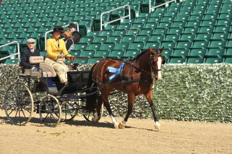 """Champion Driver Suzy Stafford takes the win in the 2015 Kentucky Classic Combined Driving Event int eh Preliminary division with """"Micha"""" a Dutch cross pony owned by Margaret Mayer of Ocala Florida."""