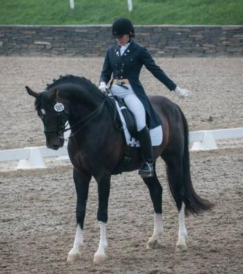 Donnersohn (Donnerhall x Archipel) Hanoverian Verband and American Hanoverian Socitey approved stallion available in the second chance Hanoverian Stallion Service Auction