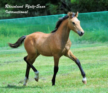 Lot #8 Select GRP Colt Fox Creek's Butterscotch (Benno's Dream x Wedderlie Mardi Gras)