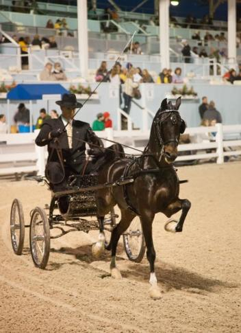 The Hackney and Harness Ponies are always a crowd favorite at the Devon Horse Show and Country Fair