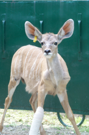 Georgie the African Kudu during his treatment in The Sanctuary's HBO chamber (Photo: The Sanctuary)