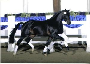 Unee BB at the stallion inspection (Photo: courtesy of Stal Waterval)