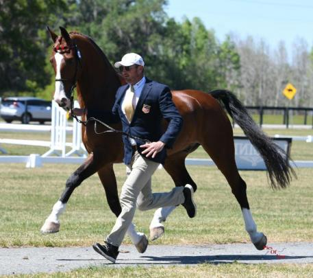 Chester Weber, 14-time USEF Four-in-Hand National Champion, presents one of his team at Wednesday's horse inspection (Photo: © Pics Of You)