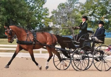 Bettina Shearer and Banjo in Driven Dressage