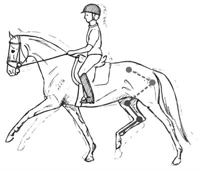 The younger horse in correct position, taking the hind legs under the center of gravity with an arched upward back and stepping into the riders hand, the first cervical vertebrae being the highest point.