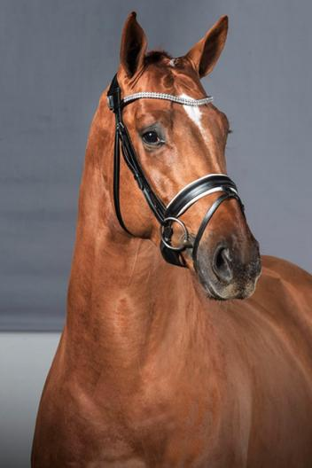 Don Cesar, Westphalian gelding (by Desperados x Manhattan) owned by Dr. Cesar Parra and his wife Marcela Ortiz Parra