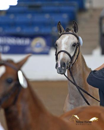 Heads up pony fans: world-famous Dressage at Devon will now offer a full Sport Horse Breeding Division just for ponies!