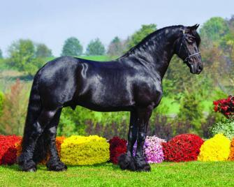 Hedser 465, Sport, Friesian, Stallion, Iron Spring Farm