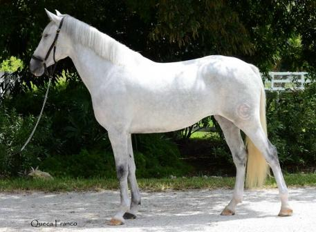 Holstana DC is a 3-year-old Holsteiner/Lusitano mare just started under saddle by Carmen Franco. She was the IALHA National Champion Half Lusitano Fillies and Mares in 2012, 2013 and 2014. Photo by Queca Franco.