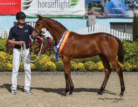 Nureyev ISF by Sir Sinclair, Keur was reserve champion foal at the prestigious Dressage at Devon breed division.