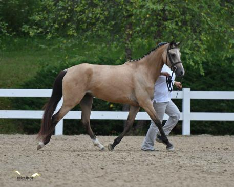 The NDPC Filly Championship went to the three-year-old AWR filly Fairy Gold. Photo by Jennifer M. Keeler