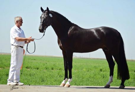 Newly-licensed KWPN stallion Gaspard de la Nuit DG (Ravel x Sir Donnerhall) owned and bred by DG Bar Ranch Breeders, Inc. and Akiko Yamazaki.