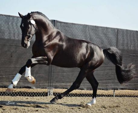 Newly-licensed KWPN stallion Gaspard De La Nuit DG, owned and bred by DG Bar Ranch Breeders, Inc. and Akiko Yamazaki. (Photo: courtesy of DG Bar Ranch)