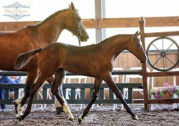 Early Auction Feature Entry - LaMarca WF - 2014 bay filly (Linaro x EM First Lady - HB I First Game H)