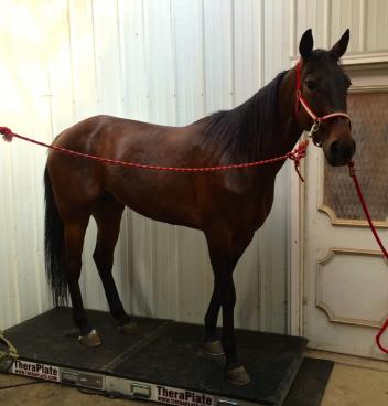 Noble Fitch, a Standardbred rehabilitating at Starting Gaits Standardbred Transition Program, enjoys the benefits of TheraPlate (Photo: Starting Gaits Standardbred Transition Program)