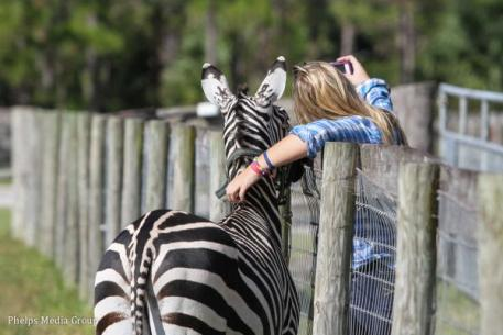 Zeus the zebra, trained by Rick Steed, posed for selfies with visitors
