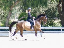 Ludo- Beautiful 7 year old Hanoverian gelding!