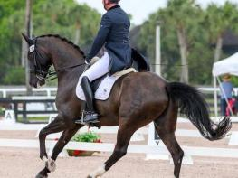 Succesful Amateur Friendly FEI Horse!
