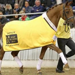 Breitling W has been named Hanoverian Stallion of the Year 2014 (Photo © LL-foto)