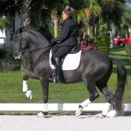 Fuji - Incredible KWPN Stallion for Sale