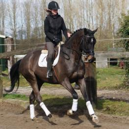 Armalord - (Armand x Lord x Ladalco: 2010 Holsteiner Gelding)