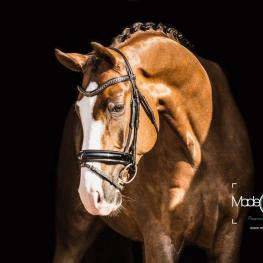 Billionaire, a 6 year-old Bellisimo x Sir Donnerhall gelding whom Janine has brought along from the basics.  Billioniare and Little have won numerous classes in Florida with scores in the 70s, and this charming young talent is already schooling upper-level work.