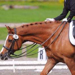 Fantasque - 2001 Belgium Warmblood Cross Gelding