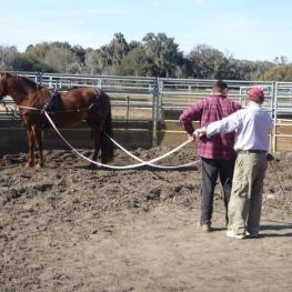 Professional trainer Fred Merriam instructing a student on long lining a Morgan mare belonging to Lynda