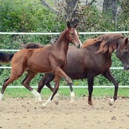 The Rheinland Pfalz-Saar International, Select Online Foal Auction, Auction 2015