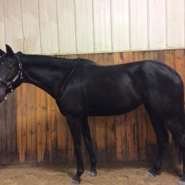 SF Serenade - 2011 Hanoverian/Thoroughbred Mare ($30,000 and Under)