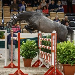 The three-year-old stallion Stoertebeker won the Trakehner Free-jumping Cup with superiority.
