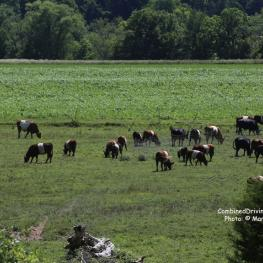 Belted Galloway herd at Riverplains Farm, Tennessee