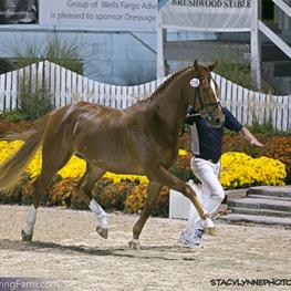 Floraya ISF by Florianus II continued her winning ways earning another victory at Dressage at Devon, this time in the Four-Year and Older Maiden Mares class, as well as her Star predicate from the KWPN.