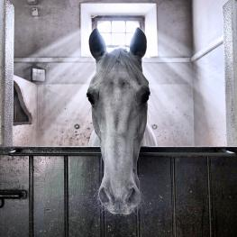 Portuguese photographer Filipa Scarpa has won the top prize in the FEI Solidarity World Photo Grand Prix for her image of Xisto, the angelic Lusitano, who has been nominated to compete at the Alltech FEI World Equestrian Games™ 2014 in Nomandy, France. (Filipa Scarpa/FEI)